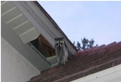Raccoon and damaged soffit