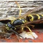Hornet Bees
