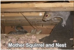 squirrel and nest