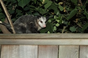 Possum Removal Services in Hamilton, Toronto & Niagara Region