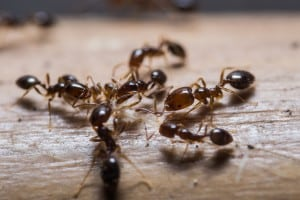 Ant Extermination & Ant Control Services In Toronto