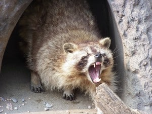 A raccoon about to be removed by a Toronto Pest Control Service