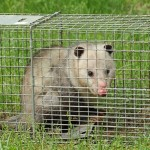 Animal Control In Hamilton Traps a Possum