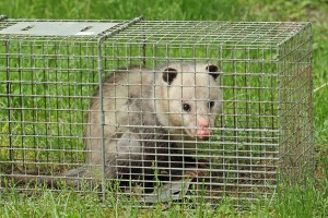 Animal Control In Hamilton Traps a Possum