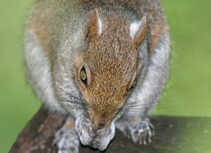 close up of squirrel before squirrel removal in Hamilton