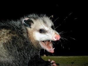 wild animal - possum