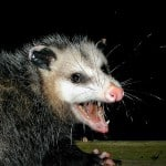 wild animal - possum