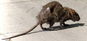 Rat infestation in Hamilton likely to grow