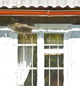 bird removal may be required when they make nests in your home
